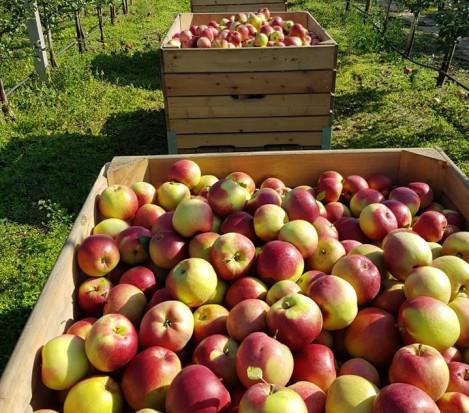 GUS: Zbiory jabłek w 2021 roku będą wyższe niż szacowano