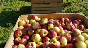GUS: Zbiory jabłek przekroczą 4 mln ton