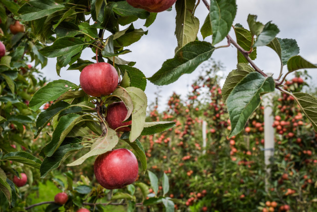 Pogoda dla sadowników: piątek słoneczny i chłodny