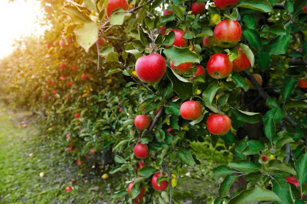Czy polskie jabłka sprostają wyzwaniom Europejskiego Zielonego Ładu?