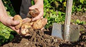 Lublin: Trwają wykopki kartoflane w Muzeum Wsi Lubelskiej