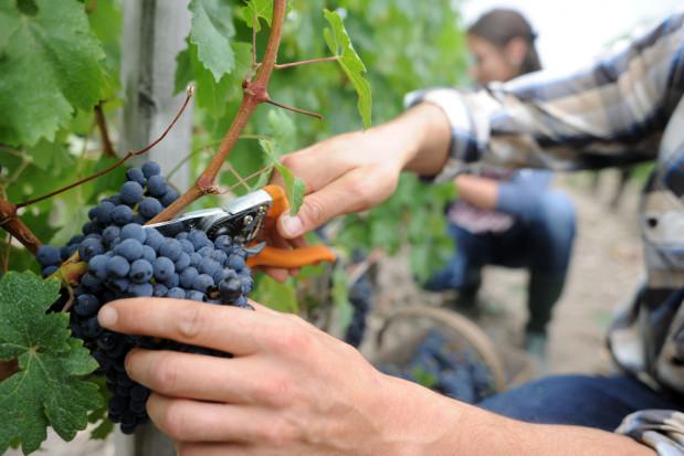 Niesprzyjająca pogoda może przyspieszyć zakończenie winobrania na Podkarpaciu