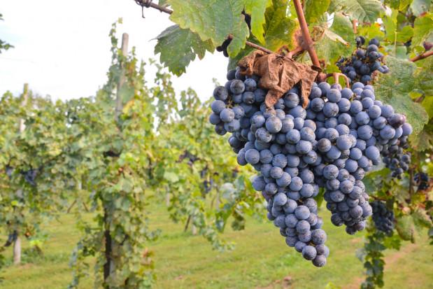 Polskie warunki klimatyczno-glebowe sprzyjają uprawie winorośli