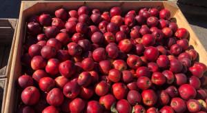 Polskie jabłka są niesprzedawalne? Skandaliczne ceny na sortowniach