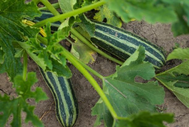 Bytom: Plantator wyhodował rekordowej wagi kabaczka