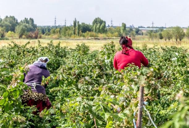 Serbia chce zatrudniać pracowników z Indii i Mongolii do zbioru malin