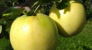 Rugold - nowa jabłoń odporna na parcha z IO-PIB