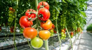 Rosnące koszty i ToBRFV zagrożeniem dla produkcji pomidorów