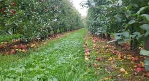 Dla wielu producentów jabłek sezon może zakończyć się stratami finansowymi