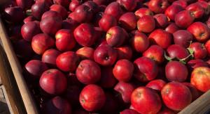 Lewica chce interwencyjnego skupu jabłek. Apeluje do Grzegorza Pudy