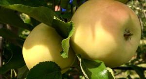 Nowe odmiany jabłek na rynku francuskim